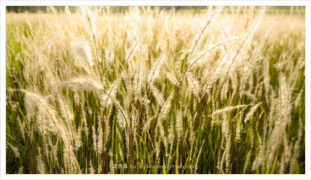 面前被火燒焦了的山頭,安置著一個個排列整齊的靈位,沒有給人可怕感覺,反而讓人想起鄉情舊事。忽然左邊有些耀眼的東西閃閃生輝,展目是一大片金黃的芒草,就像大東山上的禾穗,近看一點卻發現不是芒草,而是一列列的白茅草,即是可煮涼茶的茅根,鋪天蓋地把整個山谷都填滿,幅員之廣足有十個大球場,縱橫交錯的阡陌上,小草隨風搖曳,有如海上波浪翻騰不斷,當斜陽徐徐下降,慷慨地把草坡添上一件金衣,又把天空雲彩染得通紅,此時此刻的絢麗情景,令人畢生難忘。 006 絢爛的雲彩